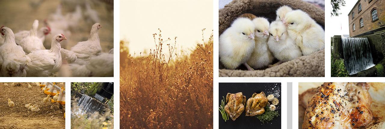 topbillede_kyllinger